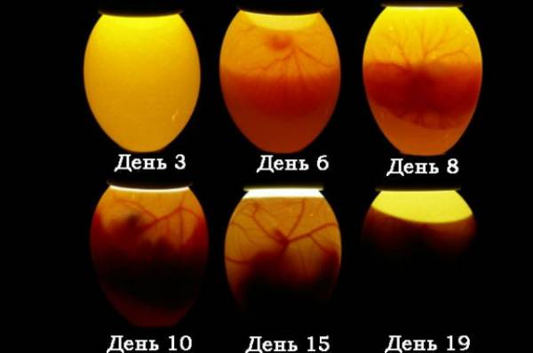 Проверка яиц овоскопом при инкубации