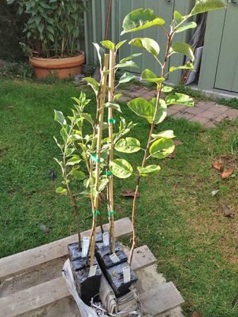 Опытные дачники рассказывают, как вырастить яблоню из семечка
