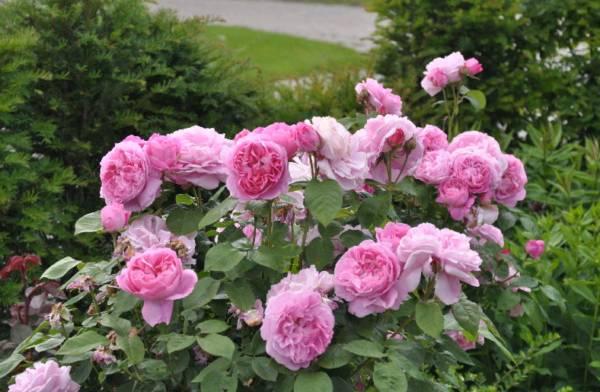 Все о прекрасной розе «Mary Rose»