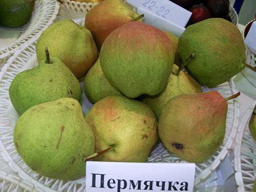 Сорт груши Пермячка