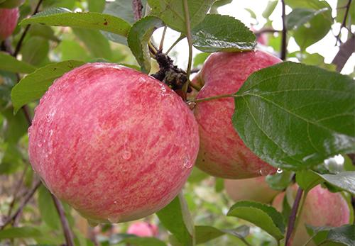 Сорт яблони Коричное полосатое