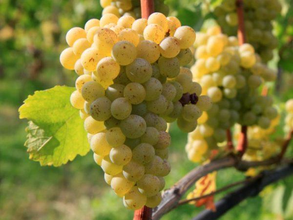 16 лучших винных сортов винограда