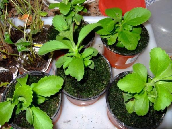 Стевия – выращивание из семян
