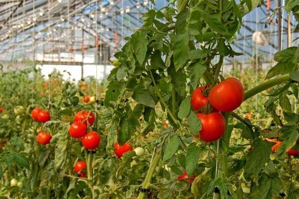 Секреты выращивания помидоров в теплице и видео