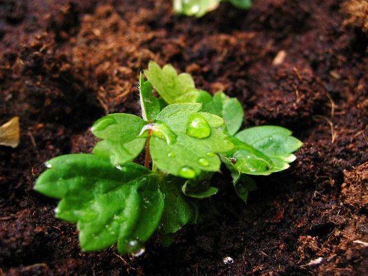 Земляника из семян: как просто вырастить в домашних условиях