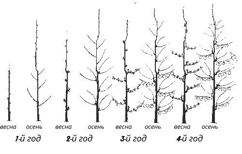 Абрикос колоновидный – общая характеристика и подходящие сорта для Подмосковья
