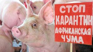 Африканская чума свиней: признаки и симптомы заболевания с фото