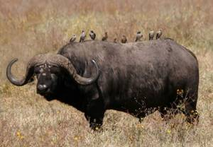 Где обитают и живут буйволы: выращивание домашних быков