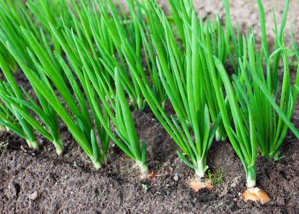 Как правильно вырастить репчатый лук из севка крупным