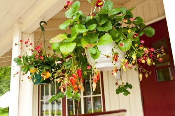 Правильный уход и выращивание ремонтантной ампельной клубники
