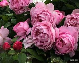 Английская роза: описание, посадка и уход