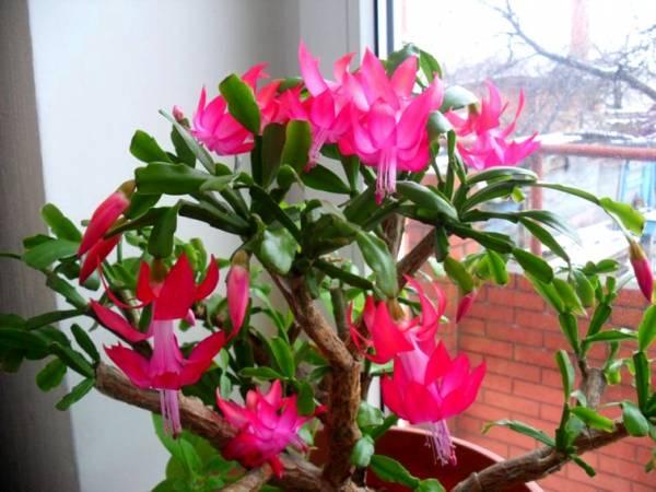Декабрист цветок: уход в домашних условиях, приметы, размножение, сложности выращивания, виды с фото