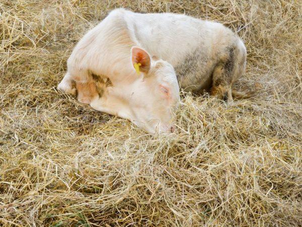 Симптомы болезней у коров и их лечение