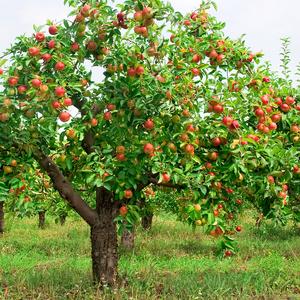 Борьба с мучнистой росой на яблоне