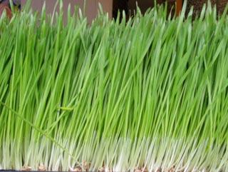 Выращивание цитронеллы