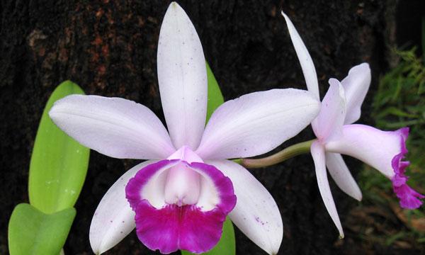 Орхидея каттлея - уход в домашних условиях
