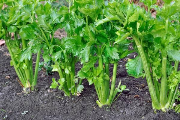 Как вырастить черешковый сельдерей из семян