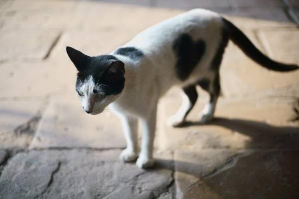Инструкция по применению Кантарена для котов