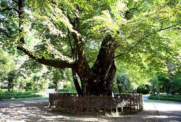 Уникальное по своим качествам дерево липа