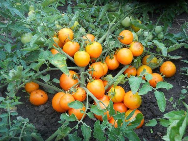 Что такое детерминантные и индетерминантные сорта помидор