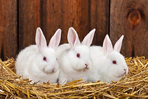 Цистицеркоз у кроликов