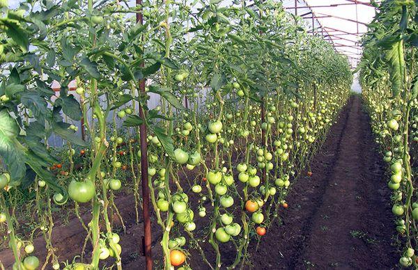 7 самых распространённых болезней томатов в теплице