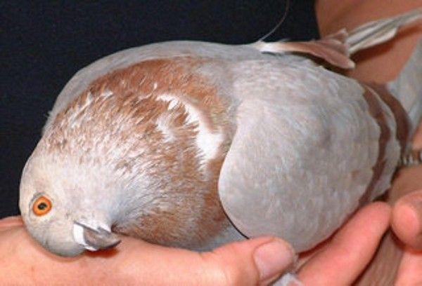 Симптомы и особенности лечения вертячки у голубей