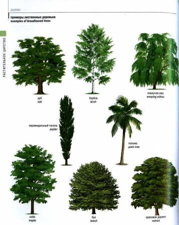 Список лиственных деревьев и их названия, примеры