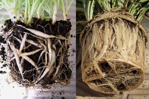 Почему сохнут кончили листьев хлорофитума