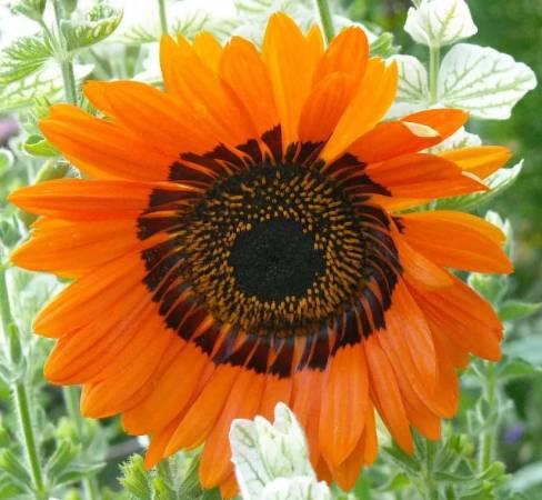 Венидиум: посадка, выращивание из семян, уход фото