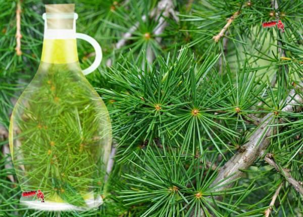 Эфирные масла хвойных деревьев: масло сосны и кедра - полезные, лечебные свойства