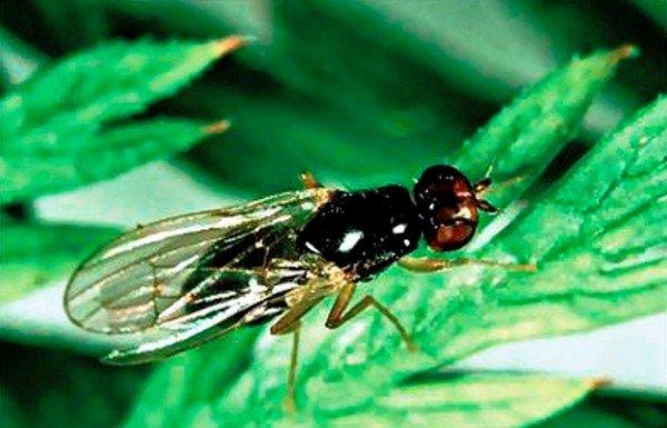 Как бороться с морковной мухой на участке - эффективные методы