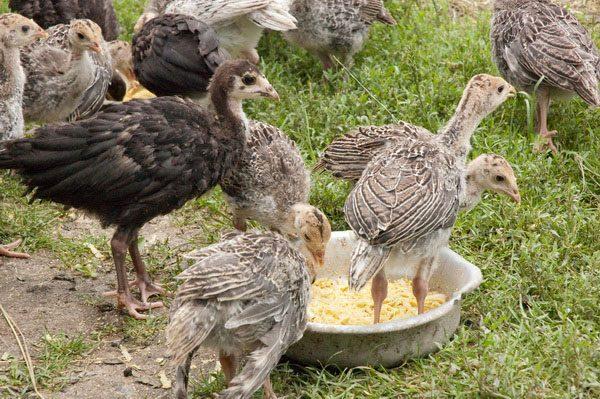 Инструкция по применению препарата соликокс для птиц