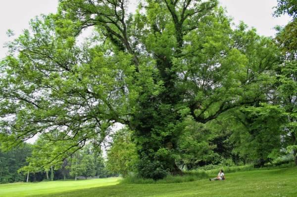 Ясень дерево описание