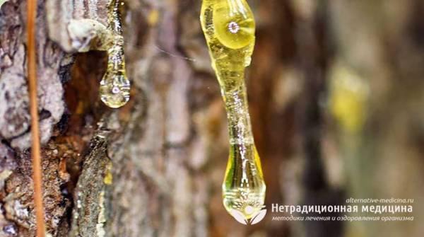 Живица кедровая - живая кровь растений для нашего здоровья