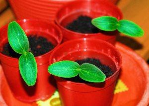 Как вырастить хорошую рассаду огурцов в домашних условиях