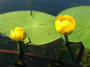 Водные растения, растущие в прудах, и их названия