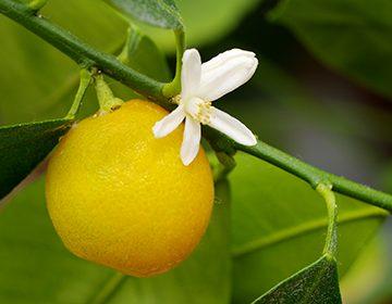 Как ухаживать за каламондином: способы получить ароматные цитрусовые плоды