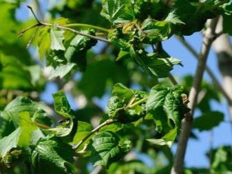 Калина - Бульденеж: описание и выращивание