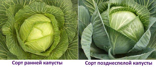 Капуста белокочанная - выращивание и уход