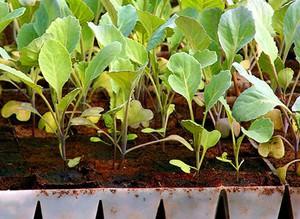 Как вырастить капусту: основы правильного выращивания