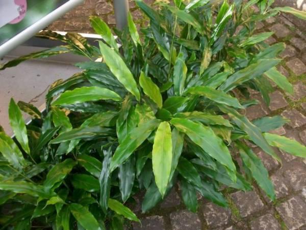 Кардамон выращивание в домашних условиях