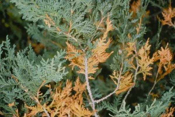 Как выращивать кипарис в домашних условиях