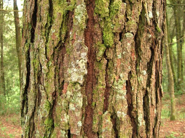 Уникальные лечебные свойства коры ивы и противопоказания к ее применению
