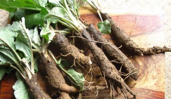 Сбор и сушка корня лопуха в домашних условиях