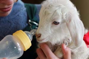 Как кормить козлят с рождения