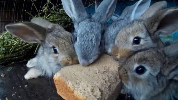 Можно ли кроликам давать хлеб