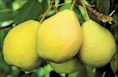 Один из лучших уральских сортов - груша Ларинская