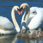 Чем питается лебедь в природе и домашних условиях