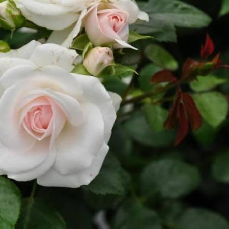Роза Аспирин Розе (Aspirin Rose)